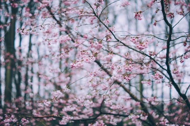 cires inflorit poza imagine efect roz flori