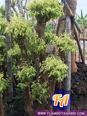 Jasa Taman Surabaya Harga Jual Bonsai Anting Putri