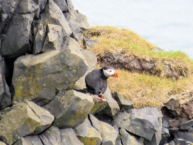 Puffin on the rocks near Iceland's Dyrhólaey Peninsula on the South Coast