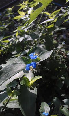 Commelina erecta, Dayflower, Widow's tears, White-mouth Dayflower