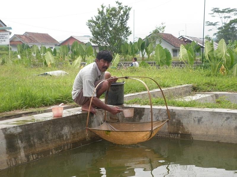Gambar Budidaya Ikan Nila