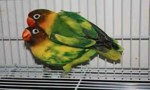 Cara Membuat Lovebird Blorok Informasi Harga dan Asal Mula Terjadinya