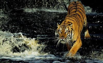 Tigre-de-bengala (Panthera tigris tigris), também conhecido como tigre-indiano, é um grande felino e uma das seis subespécies de tigre restantes, sendo a segunda maior dentre elas, ficando atrás apenas do tigre siberiano.