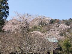 光則寺の枝垂れ桜