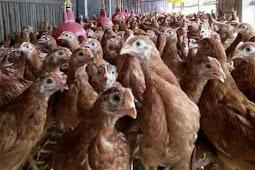 Daftar Istilah Yang Di Pakai untuk Menghitung Performa Ayam Petelur