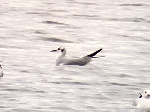 Bonaparte's Gull - Swithland Reservoir, Leicestershire