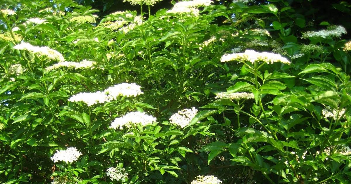 Meadow Muffin Gardens: Listen To Your Elder....Elderberry