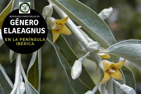 Lista de Especies del Género Elaeagnus, Familia Elaeagnaceae en la Península Ibérica