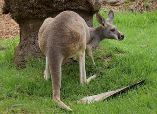 Kanguru Pohon Hewan Langka yang Terancam Punah