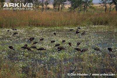 Glossy Ibis habitat