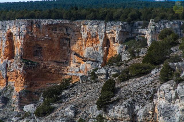 Buitre en Cañón del Rio Lobos