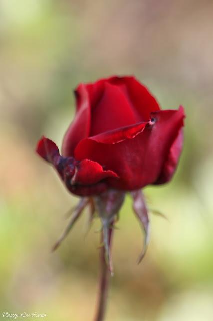 red rose screensaver