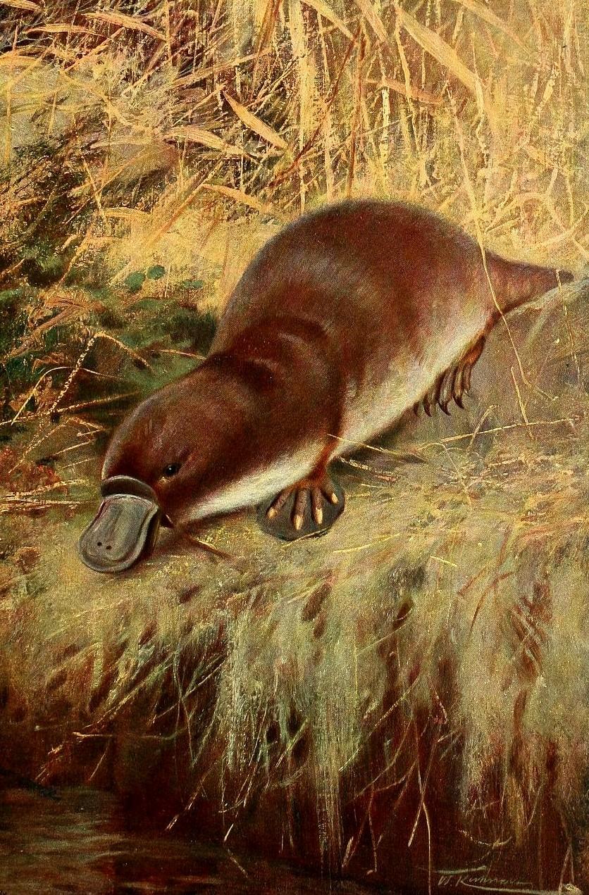 speciile de adăpost platypus