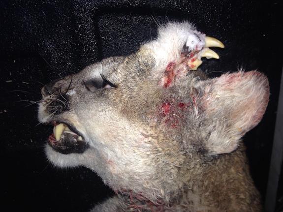 Puma con colmillos en la cabeza desconcierta a los biólogos