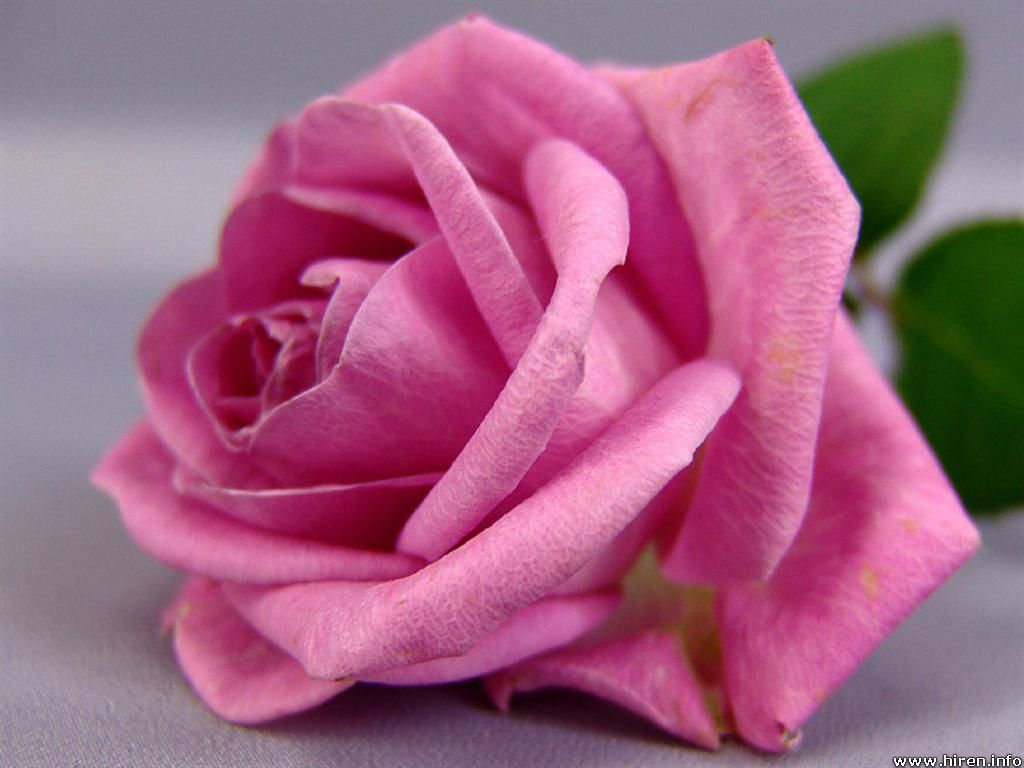 roses - photo #40