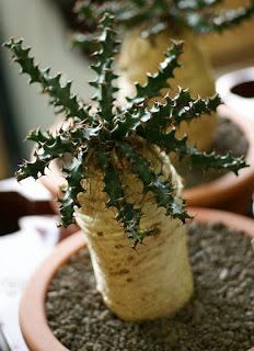 Euphorbia squarrosa - Plante à caudex