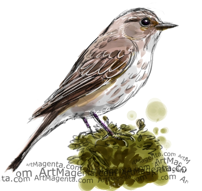 Spotted Flycatcher sketch painting. Bird art drawing by illustrator Artmagenta