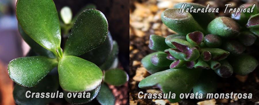 Diferencias de las hojas entre el árbol de jade (Crassula ovata) y la planta Hobbit o Gollum (Crassula ovata monstrosa)