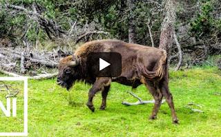 Σκότωσαν τον πρώτο άγριο βίσονα που εμφανίστηκε μετά από 250 χρόνια στη Γερμανία [video]