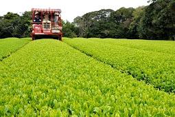 日本一早い茶摘み 種子島 松寿