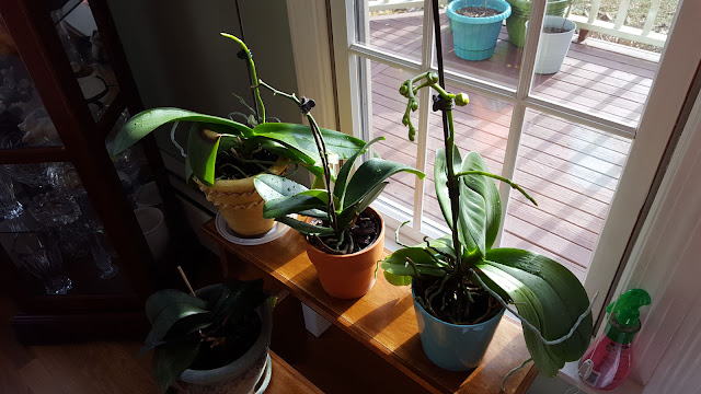 Reblooming Orchid Plants