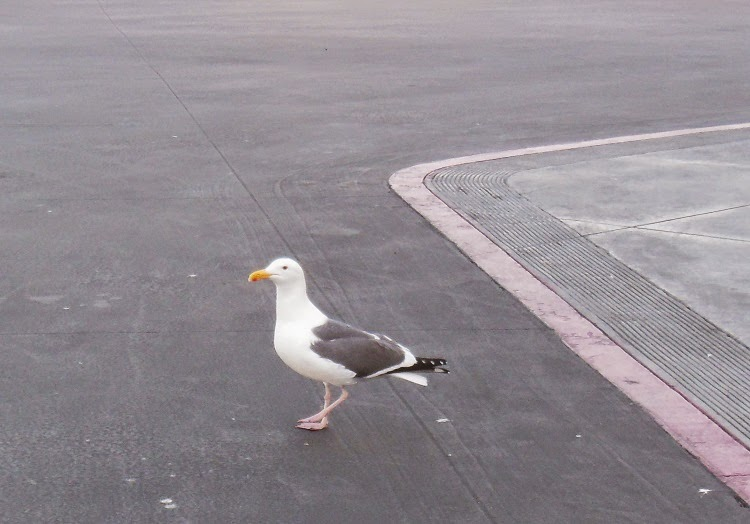 Sea Gull Crossing Street from Costco Food Court, © B. Radisavljevic