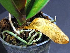 orquídeas amarelando