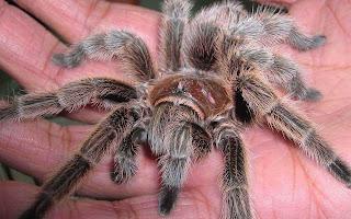 Tarantula op hand