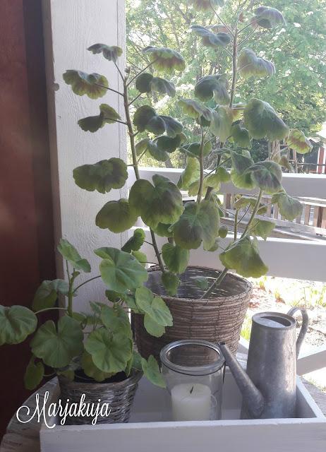 Pelargoniat terassilla