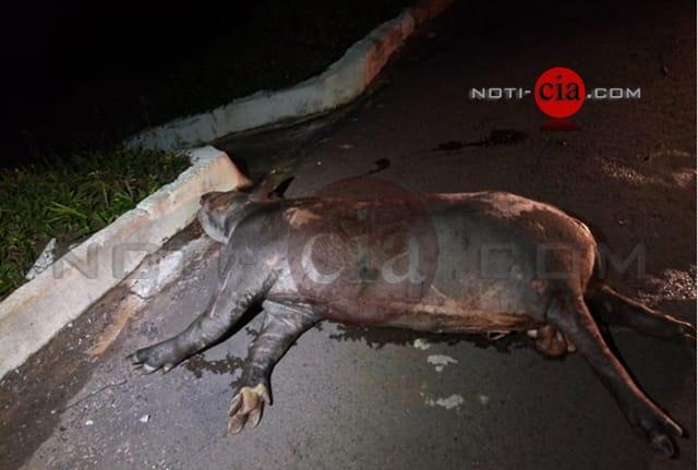 Anta causa acidente e deixa feridos na Rodovia PR-487