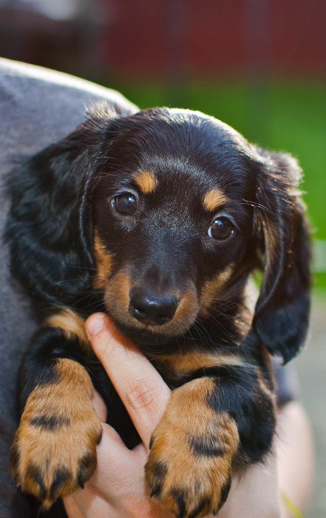 Cute Puppy Dogs: long haired dachshund puppy