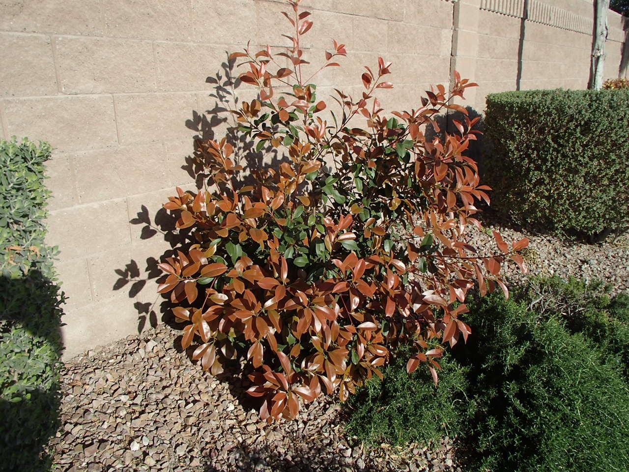 Xtremehorticulture Of The Desert Farmer Photinia Versus Fraser S