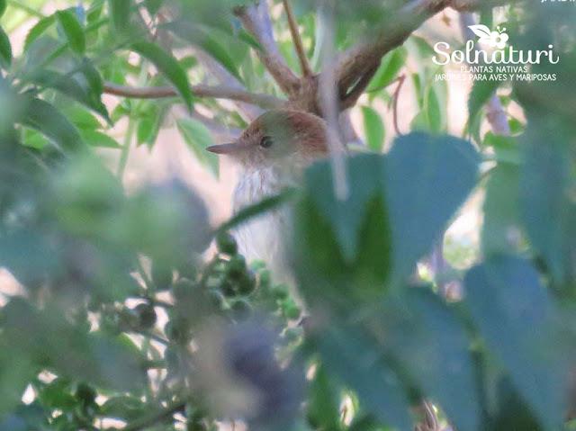 Myiophobus fasciatus Mosqueta Estriada