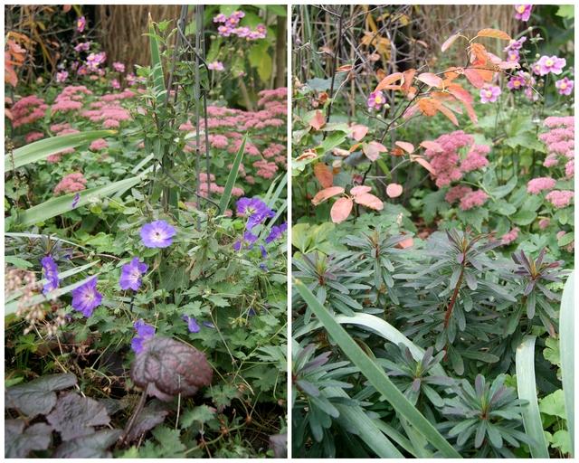 Beet mit Herbstbepflanzung aus Purpur-Wolfsmilch Sedum und Rozanne