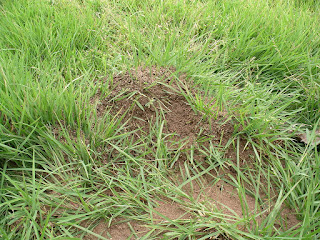 imported fire ant mound