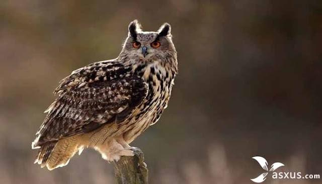 Inilah 10 Fakta Menarik dan Unik Tentang Burung Hantu