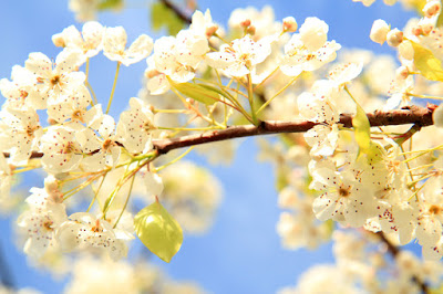 Ornamental Pear Tree Flowering in Santa Monica, CA - Photo by Mademoiselle Mermaid