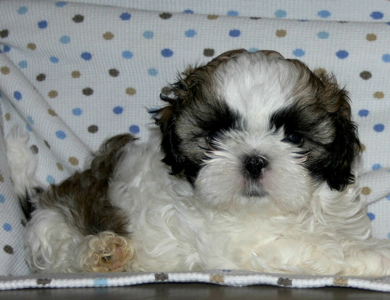 shih tzu breeders in virginia growing puppies virginia schnoodle breeder 4811