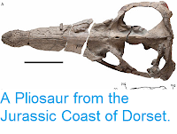 https://sciencythoughts.blogspot.com/2013/08/a-pliosaur-from-jurassic-coast-of-dorset.html