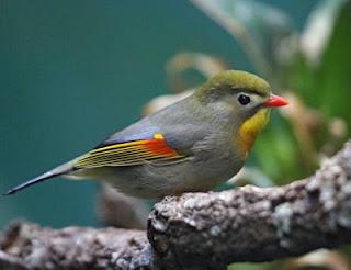burung robin, robin, gambar burung robin