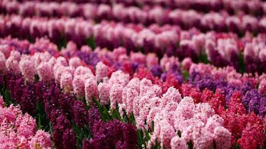 Keukenhof 2016. Contando los días para ver tulipanes y más bulbos en flor