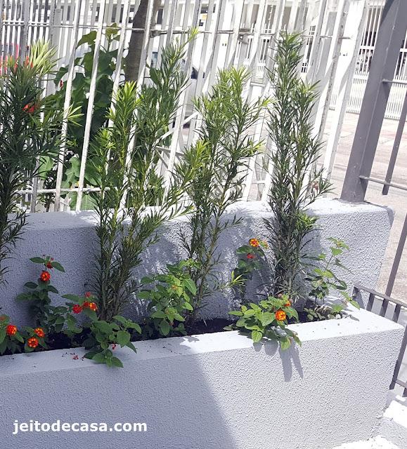 podocarpo-planta