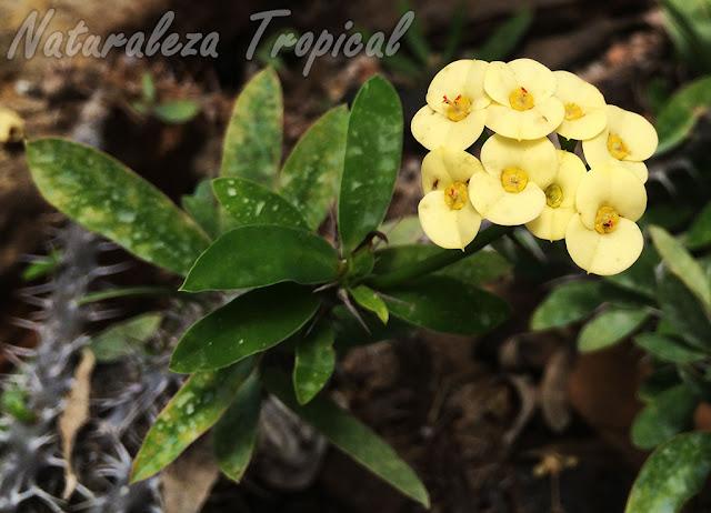 Flores amarillas de una Corona de Cristo o Corona de Espinas, Euphorbia milii