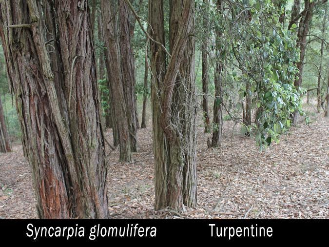 How To Take Turpentine Internally