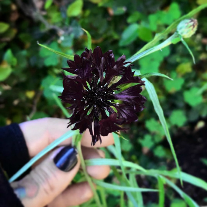 Centaurea negra
