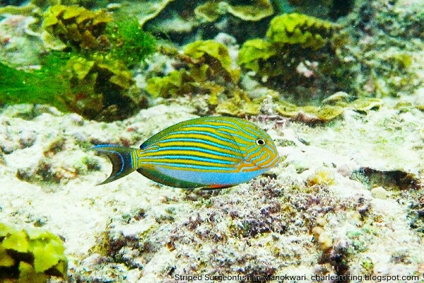 Striped Surgeonfish (Acanthurus lineatus) in coral reef of Manokwari of West Papua province of Indonesia.