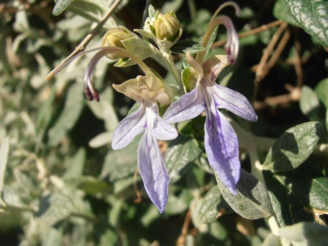 OLIVILLA:  Teucrium fruticans
