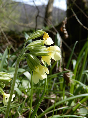 Nature in spring - cowslip