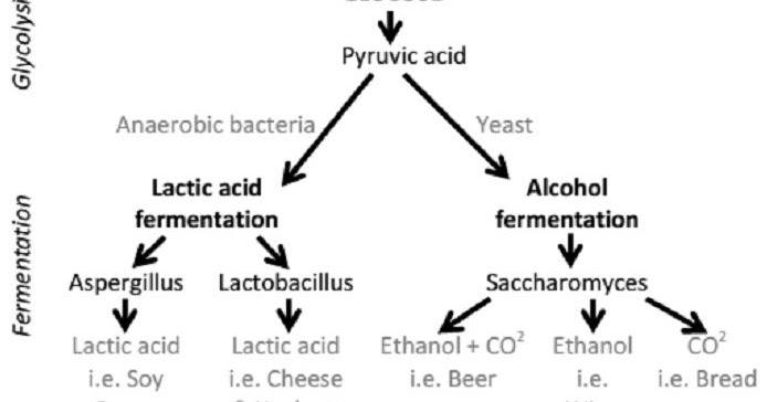 food preserving  the fermentation process