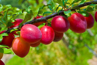 manfaat plum